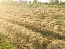 Trockener Reis archiviert nach der Ernte Lizenzfreies Stockbild