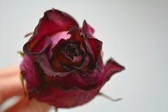 Trockener rosafarbener weißer Hintergrund der Blume in der Hand lizenzfreie stockfotografie
