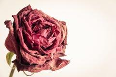 Trockener Rosenabschluß oben lizenzfreie stockbilder