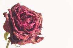 Trockener Rosenabschluß oben stockbilder