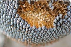 Trockener Sonnenblumen-Abschluss oben Gereifte Sonnenblume in erntender Zeit Rohe Samen in der Sonnenblume Lizenzfreie Stockfotografie