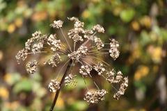 Trockener umbellate Blütenstand auf einem unscharfen Hintergrund/einer Abstraktion/ Stockfotografie
