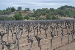 Trockener Weinberg im Winter im Süden von Frankreich stockbild