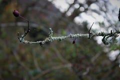Trockener Zweig mit weißen Moosen und einer alleinen Frucht stockbild