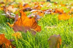 Trockenes Ahornblatt, das auf grünem Gras in der Sonne liegt Lizenzfreies Stockbild