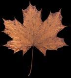 Trockenes Ahornblatt lokalisiert auf einem schwarzen Hintergrund Lizenzfreie Stockbilder