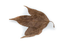 Trockenes Ahornblatt lokalisiert auf weißem Hintergrund lizenzfreies stockfoto