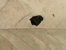 Trockenes Blatt mit Löchern Lizenzfreie Stockbilder