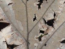 Trockenes Blatt mit Löchern Lizenzfreie Stockfotografie
