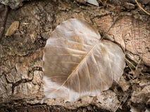Trockenes Blatt von Bodhi-Baum Lizenzfreies Stockbild