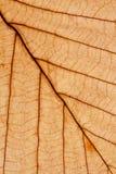 Trockenes Blattmakro, das Aderbeschaffenheit zeigt Stockbild