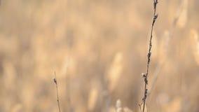 Trockenes Blured-Gras mit Fokus-Bewegung durch die Szene stock video