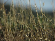 Trockenes Gras lizenzfreie stockfotos