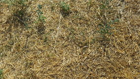 Trockenes Gras Stockfotografie