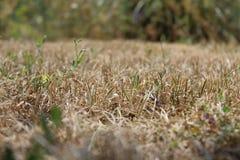 Trockenes Gras Stockbilder