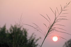 Trockenes Gras auf Abendhimmelhintergrund Lizenzfreies Stockbild