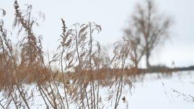 Trockenes Gras beeinflußt in den Wind in der Schneelandschaftswinternatur stock video footage