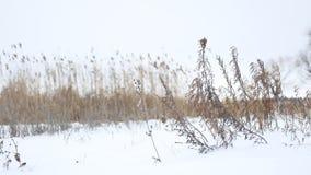 Trockenes Gras beeinflußt in den Wind in der Schneewinter-Landschaftsnatur stock video footage