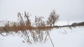 Trockenes Gras beeinflußt in den Wind in der Winterschnee-Landschaftsnatur stock video