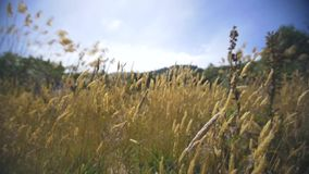 Trockenes Gras, das im Wind durchbrennt stock video