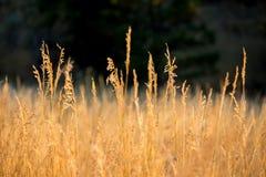 Trockenes Gras in der Sonne auf einem ruhigen Morgen lizenzfreie stockfotos