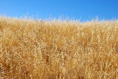 Trockenes Gras-Feld gegen blauen Himmel Lizenzfreie Stockbilder