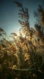 Trockenes Gras - hohe Stiele des getrockneten Grases auf einem Hintergrund des Himmels und des Sonnenlichts Lizenzfreies Stockfoto