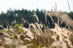 Trockenes Gras im Wald bei Sonnenuntergang in der warmen Sonne Lizenzfreie Stockfotos