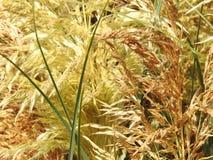 Trockenes Gras im wilden Lizenzfreie Stockfotos