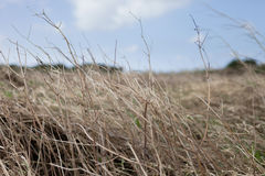 Trockenes Graslandgras Lizenzfreie Stockfotografie