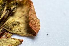Trockenes Herbariumblumenelement für Design irgendwelcher Einzelteile Stockfoto