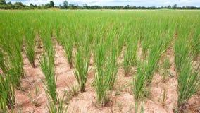 Trockenes Reisfeld in Kambodscha Lizenzfreie Stockfotografie