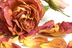 Trockenes Rot stieg mit den Blumenblättern Stockfotos