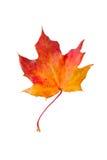 Trockenes rotes Herbst-Ahornblatt Stockbilder