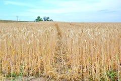 Trockenes Rye-Feld-Getreideanbau-Landwirtschafts-blauer Himmel-Hintergrund-Landwirtschafts-Bahn-Wiesen-Vorrat-Foto stockfotos
