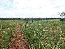 Trockenes Stroh in der Zuckerrohrplantage Landwirtschaft in Brasilien und im enviroiment stockfotografie
