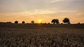 Trockenes Weizenfeld stockbild