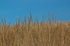 Trockenes wildes Gras Stockfoto