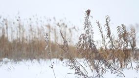 Trockenes Wintergras beeinflußt in den Wind in der Schneelandschaftsnatur stock footage