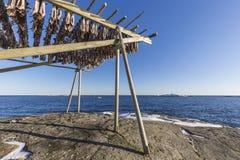 Trocknen des Stockfisches, der am traditionellen Holzregal hängt lizenzfreie stockbilder