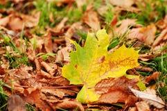 Trocknen Sie Blätter auf grünem Gras Stockbild