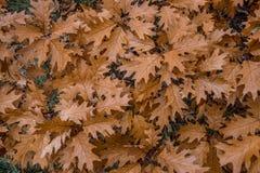 Trocknen Sie Blätter der Eiche Autumn Colors Lizenzfreie Stockbilder