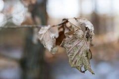 Trocknen Sie Blätter der Eiche und der Buche auf der Niederlassung Getrocknete Blätter auf dem t Stockfotografie