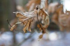 Trocknen Sie Blätter der Eiche und der Buche auf der Niederlassung Getrocknete Blätter auf dem t Stockfotos