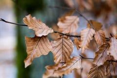 Trocknen Sie Blätter der Eiche und der Buche auf der Niederlassung Getrocknete Blätter auf dem t Lizenzfreie Stockfotografie