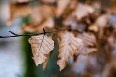 Trocknen Sie Blätter der Eiche und der Buche auf der Niederlassung Getrocknete Blätter auf dem t Stockbilder