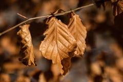 Trocknen Sie Blätter der Eiche und der Buche auf der Niederlassung Getrocknete Blätter auf dem t Lizenzfreies Stockfoto