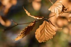 Trocknen Sie Blätter der Eiche und der Buche auf der Niederlassung Getrocknete Blätter auf dem t Stockbild
