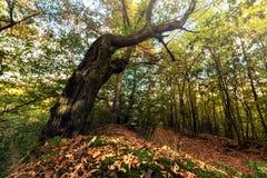 Trocknen Sie Blätter und Baumstamm im Wald Lizenzfreie Stockfotografie
