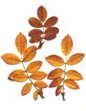 Trocknen Sie Blätter von wildem stieg. lizenzfreie stockfotografie